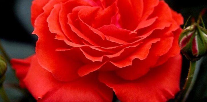 Róże wielkokwiatowe i pnące ozdobą ogrodów