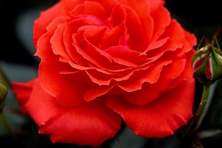 krzew róż wielkokwiatowych